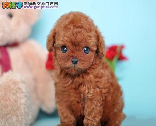 低价转让韩系血统贵宾犬 北京同城可免费送到家有赠品3