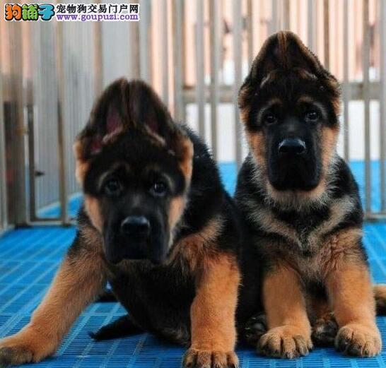 纯种德牧幼犬出售 包犬瘟细小 疫苗齐全包健康 签购犬协议4