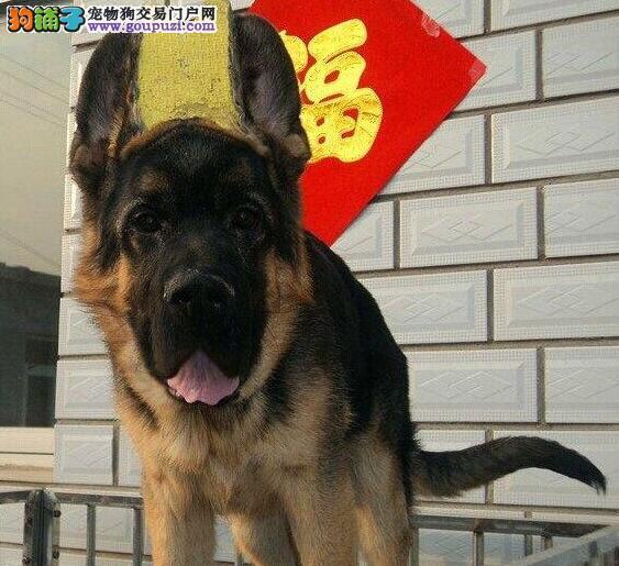 高品质德牧幼犬出售 大骨架 可见狗父母 包纯包健康