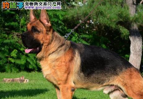 纯种弓背德国牧羊犬西宁火爆出售 人类最忠实的伙伴