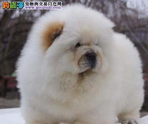 上海名犬基地出售松狮