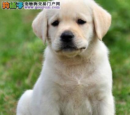 武汉市出售拉布拉多犬 全国包邮 协议质保 可签协议