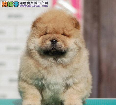 上海出售狮子头肉嘴松狮犬家庭养殖 成活率高