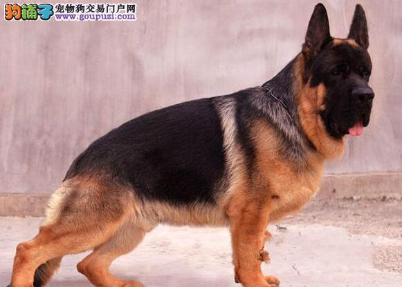 纯种双血统德国牧羊犬出售 品相完美赛级品质 可见狗父母