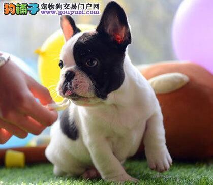 热销高品质斗牛犬 广州本地有实地犬舍包邮送货