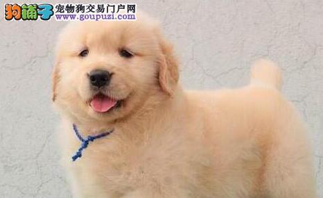 签协议保健康最起码的保障深圳纯种繁殖精品金毛犬出售