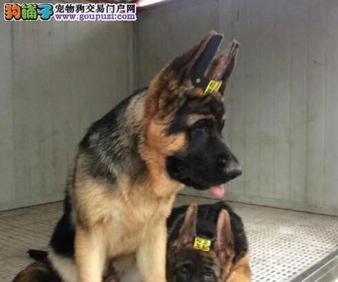 优质锤系南京德国牧羊犬出售 犬场直销欢迎选购