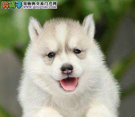 极品哈士奇幼犬 专业繁殖包质量 三包终生协议