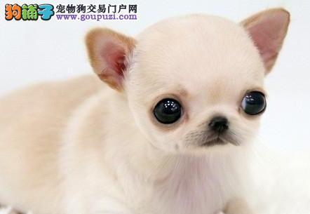 苹果头墨西哥血统吉娃娃低价转让 哈尔滨市内免费送狗
