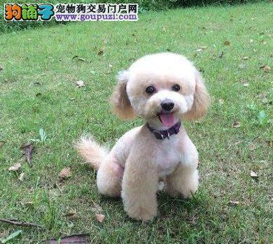 专业狗场繁殖韩系贵宾犬 成都附近可送已做好驱虫疫苗