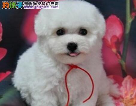 精品韩系纯种惠州泰迪犬出售 品种绝对纯正驱虫已做