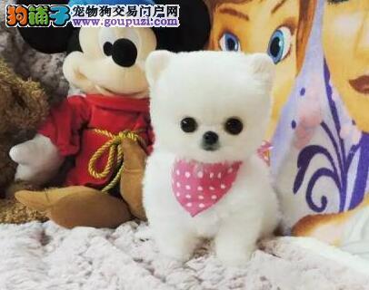 南京出售纯种博美犬 球体俊介犬签保证协议 可送狗上门
