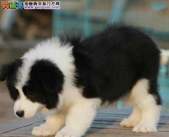 青岛自家繁殖边境牧羊犬出售公母都有签署质保合同4