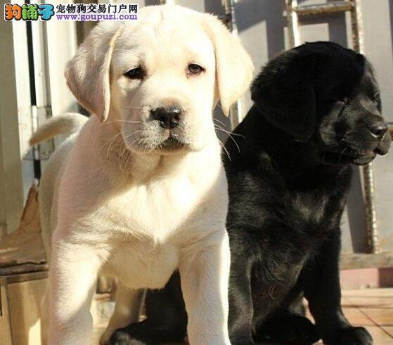 南宁实体狗场直销大头版的拉布拉多犬 签订购犬协议