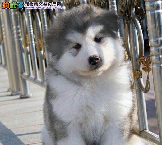 出售极品阿拉斯加犬幼犬完美品相送用品送狗粮