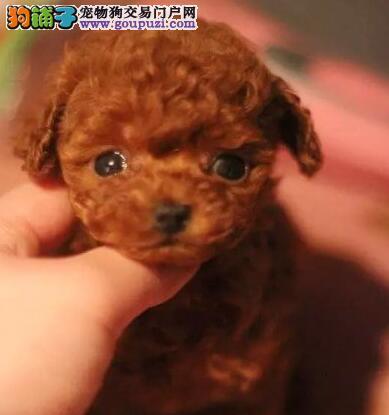 贵阳自家犬舍出售韩系贵宾犬 可签订终身质保协议