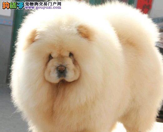 肉嘴紫舌头身体健康的珠海松狮犬找新家 非诚勿扰