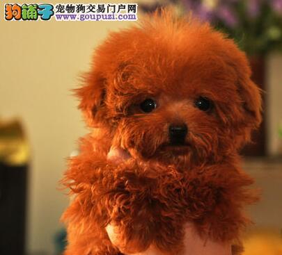 出售茶杯玩具血系的珠海泰迪犬 承诺终身免费售后服务4