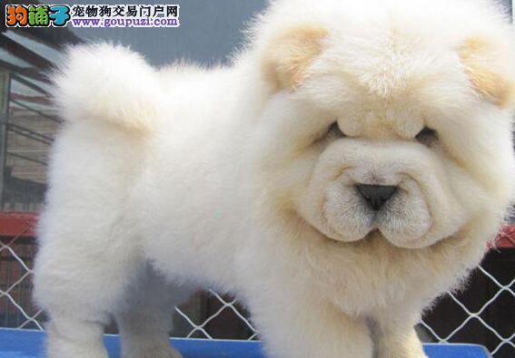 出售2个月大的白松狮宝宝大头大脸盘