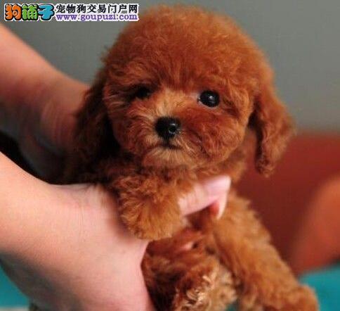 出售茶杯玩具血系的珠海泰迪犬 承诺终身免费售后服务2