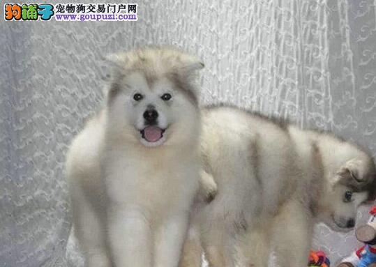 CKU犬舍认证出售高品质北京阿拉斯加犬我们承诺终身免费售后