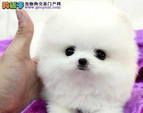 出售顶级优秀纯种博美犬 广州周边地区可免邮费保品质