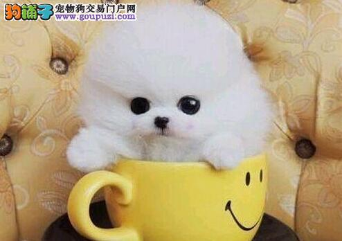 北京可爱萌宠博美犬茶杯小体狗 可随时看狗 疫苗做好