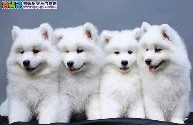 精品萨摩耶幼犬一对一视频服务买着放心保证冠军级血统