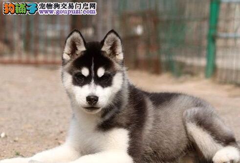北京大型养殖场直销哈士奇幼犬 不纯有病包退换