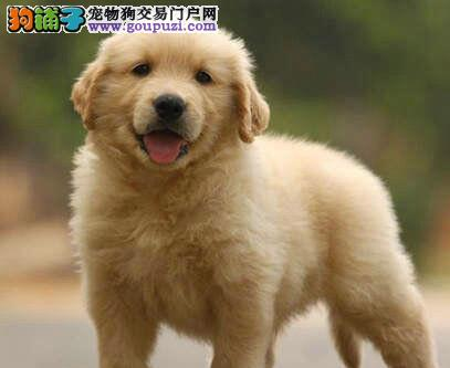 CKU犬舍认证出售高品质武汉金毛保障品质售后