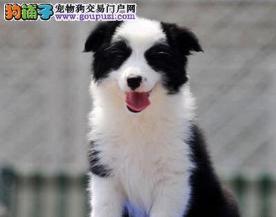 热销多种颜色杭州边境牧羊犬 多只购买可享受优惠