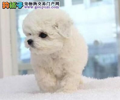 优惠价格出售可爱卷毛杭州比熊犬 赛级品质保证优秀