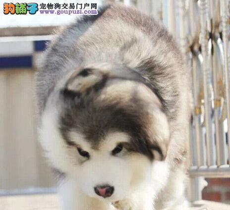 上海纯种巨型阿拉斯加犬雪橇犬 包纯种健康可退换阿拉