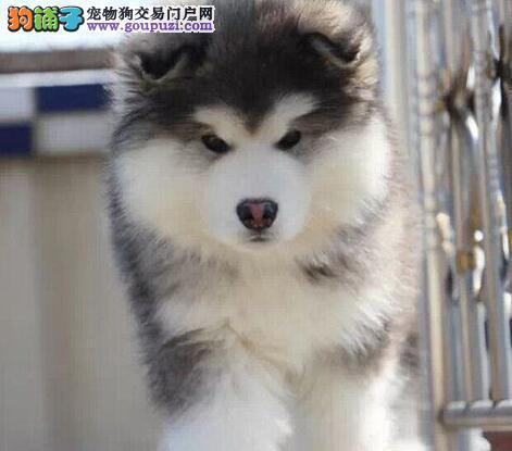 冠军级后代阿拉斯加犬,自家繁殖保养活,签订终身合同