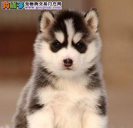 武汉出售哈士奇犬高端品质可签订协议保健康保纯种