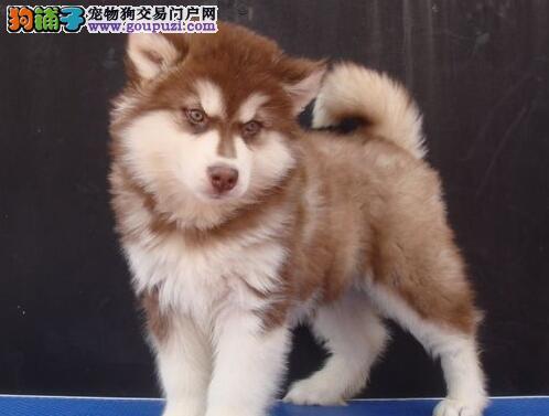 养殖场促销青岛阿拉斯加雪橇犬可见父母签合同