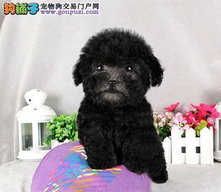 茶杯玩具血系的巨型贵宾犬找爸爸妈妈 石家庄市内送货