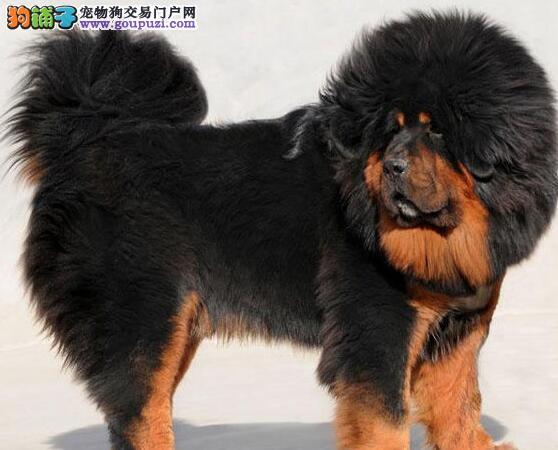 清远出售纯种原生态狮子藏獒幼犬凶猛帅气 包健康