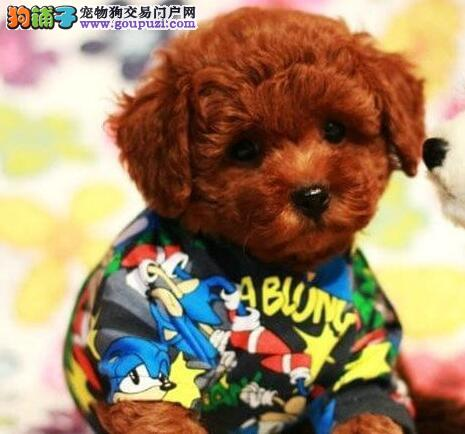 上海自驾繁育出售长不大的纯种泰迪熊 泰迪犬多色可选