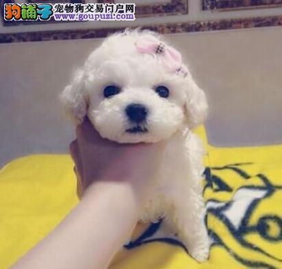 诚心出售自家养白色玩具贵宾生的宝宝可看狗 价格面议