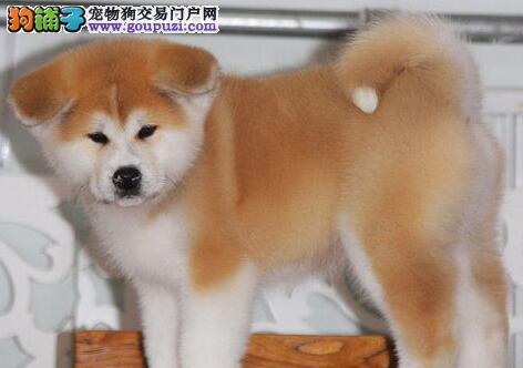 纯血统秋田犬幼犬,注射芯片颁发证书,专业信誉服务