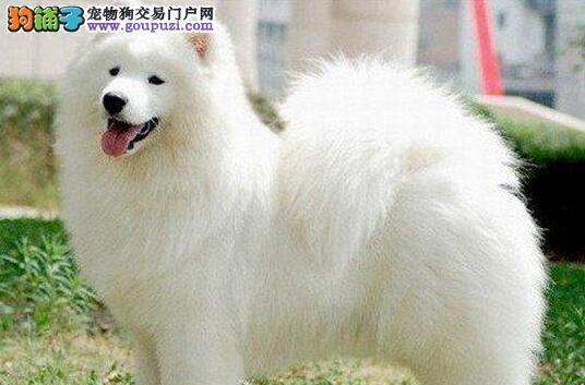 广州自家专业繁殖纯种萨摩耶犬疫苗做齐萨摩犬视频看