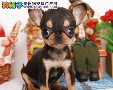 吉娃娃幼崽出售中,品质第一价位最低,签协议可送货
