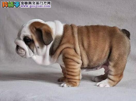 出售纯种赛级杭州斗牛犬 颜色齐全 购犬可签协议