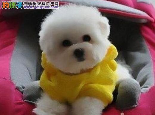 顽皮可爱 棉花糖比熊杭州随时微信看狗 上门参观