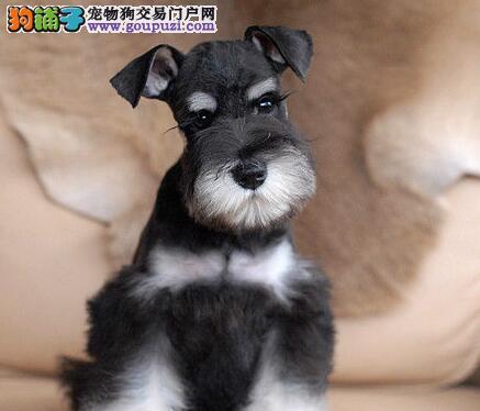 怎么饲养和照顾可爱的雪纳瑞犬呢,怀孕的狗狗照顾