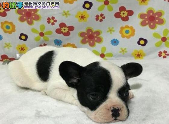 广州哪里有斗牛犬卖 精品纯种斗牛宝贝出售纯种