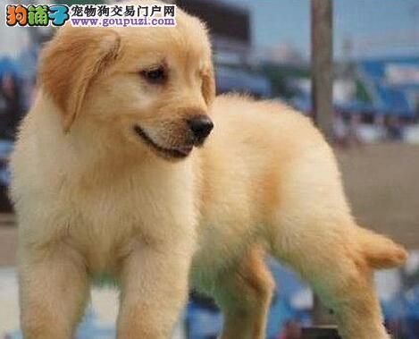 西安自家繁殖高品质大骨架金毛犬纯种健康保障公母可选