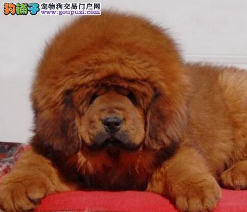 出售藏獒幼犬 吊嘴吊眼 纯正大狮子头藏獒幼犬 签协议