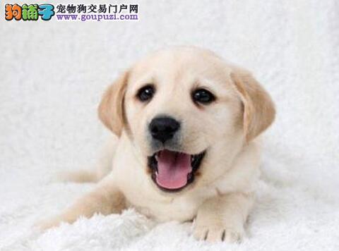 专业养殖基地出售拉布拉多犬 济宁周边可免费送狗